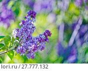 Купить «Green branch with spring lilac flowers», фото № 27777132, снято 23 мая 2018 г. (c) PantherMedia / Фотобанк Лори