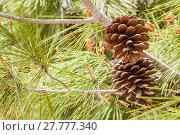 Купить «Drought acorns with leaves», иллюстрация № 27777340 (c) PantherMedia / Фотобанк Лори