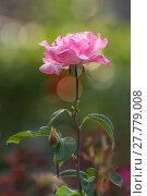 Купить «pink rose», фото № 27779008, снято 25 мая 2019 г. (c) PantherMedia / Фотобанк Лори