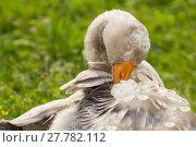 Купить «young pomeranian goose / young pomeranian goose», фото № 27782112, снято 16 февраля 2019 г. (c) PantherMedia / Фотобанк Лори