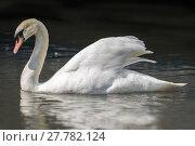 Купить «Mute Swan on a Lake», фото № 27782124, снято 16 июля 2019 г. (c) PantherMedia / Фотобанк Лори