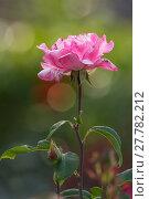 Купить «wilting pink rose / rose», фото № 27782212, снято 26 мая 2018 г. (c) PantherMedia / Фотобанк Лори