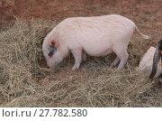 Купить «Pink pig known as a Gottingen minipig», фото № 27782580, снято 25 мая 2019 г. (c) PantherMedia / Фотобанк Лори
