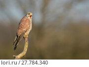 Купить «Kestrel (Falco tunniculus)  calling, Mayenne, France», фото № 27784340, снято 17 марта 2018 г. (c) Nature Picture Library / Фотобанк Лори