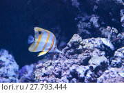Купить «Copper-banded butterflyfish, Chelmon rostratus, picks at the corals on the reef», фото № 27793444, снято 16 июня 2019 г. (c) PantherMedia / Фотобанк Лори
