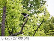 Купить «rook raven sitting on tree», фото № 27799048, снято 18 ноября 2018 г. (c) PantherMedia / Фотобанк Лори