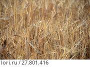 Купить «cornfield in spain», фото № 27801416, снято 20 октября 2018 г. (c) PantherMedia / Фотобанк Лори