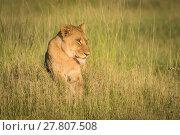 Купить «Lion lying on grassy mound at sunset», фото № 27807508, снято 24 февраля 2018 г. (c) PantherMedia / Фотобанк Лори