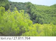 Купить «Dense Dwarf Pines», фото № 27811764, снято 22 июля 2019 г. (c) PantherMedia / Фотобанк Лори