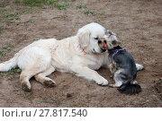 Купить «Две собаки - золотистый ретивер и йоркширский терьер тепло общаются», фото № 27817540, снято 5 июня 2016 г. (c) Татьяна Белова / Фотобанк Лори