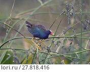 Купить «purple gallinule perches», фото № 27818416, снято 25 марта 2019 г. (c) PantherMedia / Фотобанк Лори