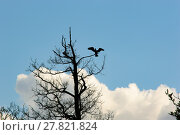 Купить «Large bird landing on old tree branch», фото № 27821824, снято 19 июня 2018 г. (c) PantherMedia / Фотобанк Лори