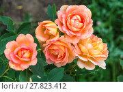 Купить «Английская кустовая роза Леди оф Шалот David Austin», фото № 27823412, снято 30 июня 2013 г. (c) Ольга Сейфутдинова / Фотобанк Лори