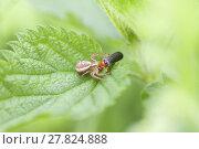 Купить «crab spider - prey», фото № 27824888, снято 25 марта 2019 г. (c) PantherMedia / Фотобанк Лори