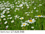 Купить «daisies splendor», фото № 27828948, снято 18 января 2019 г. (c) PantherMedia / Фотобанк Лори