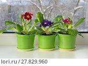 Купить «Горшочки с разноцветными примулами (лат. Primula vulgaris) на подоконнике», фото № 27829960, снято 14 февраля 2018 г. (c) Елена Коромыслова / Фотобанк Лори