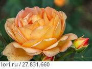 Купить «Английская кустовая роза Леди оф Шалот David Austin», фото № 27831660, снято 10 июля 2012 г. (c) Ольга Сейфутдинова / Фотобанк Лори