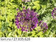 Купить «Purple flower of allium gladiator», фото № 27835628, снято 15 октября 2018 г. (c) PantherMedia / Фотобанк Лори