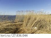 Купить «reed grass in backwater under blue sky», фото № 27836044, снято 20 июня 2019 г. (c) PantherMedia / Фотобанк Лори