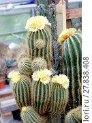 Купить «Blühender Notokaktus (Notocactus spec)», фото № 27838408, снято 24 июня 2019 г. (c) PantherMedia / Фотобанк Лори