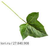 Купить «green leaf of hedera (ivy) plant isolated», фото № 27840908, снято 22 сентября 2019 г. (c) PantherMedia / Фотобанк Лори