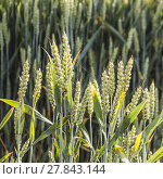 Купить «pattern of corn field in detail», фото № 27843144, снято 20 июня 2019 г. (c) PantherMedia / Фотобанк Лори