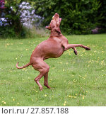 Купить «Hungarian Vizsla on hind legs catches toy», фото № 27857188, снято 27 марта 2019 г. (c) PantherMedia / Фотобанк Лори