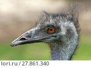 Купить «emu», фото № 27861340, снято 15 октября 2018 г. (c) PantherMedia / Фотобанк Лори