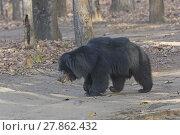 Купить «Sloth Bear in the Forest», фото № 27862432, снято 17 октября 2018 г. (c) PantherMedia / Фотобанк Лори