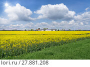 Купить «large,diagonal,yellow flowering rapeseed field with a farm», фото № 27881208, снято 24 октября 2019 г. (c) PantherMedia / Фотобанк Лори