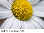 Купить «Macro photograph of Leucanthemum vulgare», фото № 27882700, снято 19 сентября 2019 г. (c) PantherMedia / Фотобанк Лори