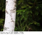 Купить «white trunk of birch tree and blurred green spruce», фото № 27885776, снято 20 июля 2019 г. (c) PantherMedia / Фотобанк Лори