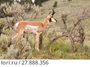 Купить «Adult Pronghorn Grazing Pasture Wild Animal Yellowstone», фото № 27888356, снято 22 августа 2018 г. (c) PantherMedia / Фотобанк Лори