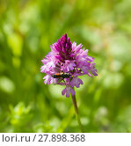 Купить «Pyramidal Orchid», фото № 27898368, снято 17 октября 2018 г. (c) PantherMedia / Фотобанк Лори