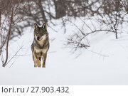 Купить «Wild Apennine wolf (Canis lupus italicus) in snowy landscape. Central Apennines, Abruzzo, Italy. February. Italian endemic subspecies.», фото № 27903432, снято 16 июля 2018 г. (c) Nature Picture Library / Фотобанк Лори