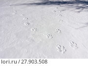 Купить «Tracks of two Wild Apennine wolves (Canis lupus italicus) in frozen snow. Central Apennines, Abruzzo, Italy. March.», фото № 27903508, снято 3 июня 2020 г. (c) Nature Picture Library / Фотобанк Лори