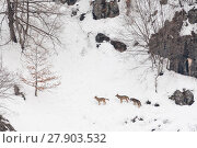Купить «Wild Apennine wolf (Canis lupus italicus) adults on snowy mountain slope. Italian endemic subspecies. Central Apennines, Abruzzo, Italy. February..», фото № 27903532, снято 16 июля 2018 г. (c) Nature Picture Library / Фотобанк Лори