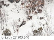 Купить «Wild Apennine wolf (Canis lupus italicus) with herd of Red deer (Cervus elaphus) in deep snow on a mountain slope. Central Apennines, Abruzzo, Italy. February..», фото № 27903540, снято 16 июля 2018 г. (c) Nature Picture Library / Фотобанк Лори