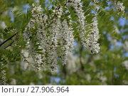 Купить «Flowering acacia white grapes», фото № 27906964, снято 26 июня 2019 г. (c) PantherMedia / Фотобанк Лори