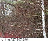 Купить «Leafless white birch tree », фото № 27907696, снято 17 октября 2018 г. (c) PantherMedia / Фотобанк Лори
