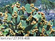 Купить «Opuntia ficus-indica», фото № 27919408, снято 17 декабря 2018 г. (c) PantherMedia / Фотобанк Лори