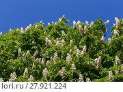 Купить «Flowering branches of chestnut tree», фото № 27921224, снято 23 мая 2018 г. (c) PantherMedia / Фотобанк Лори
