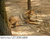 Купить «European wolf», фото № 27930684, снято 23 апреля 2019 г. (c) PantherMedia / Фотобанк Лори
