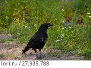 Купить «crow in the moult», фото № 27935788, снято 25 мая 2019 г. (c) PantherMedia / Фотобанк Лори