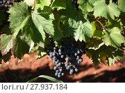 Купить «grapes,grapes,berries,wine,white wine,red wine,vines,tendrils», фото № 27937184, снято 16 октября 2018 г. (c) PantherMedia / Фотобанк Лори