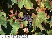 Купить «grapes,grapes,berries,wine,white wine,red wine,vines,tendrils», фото № 27937204, снято 23 мая 2018 г. (c) PantherMedia / Фотобанк Лори
