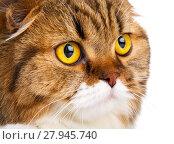 Купить «serious Scottish Fold cat on white background closeup», фото № 27945740, снято 22 февраля 2018 г. (c) PantherMedia / Фотобанк Лори