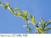 Купить «Ветка цветущей ивы (лат.Salix), или ракиты на фоне голубого неба», фото № 27946100, снято 19 мая 2017 г. (c) Елена Коромыслова / Фотобанк Лори