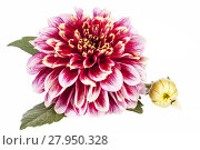 Купить «Single red flower of aster isolated on white background, close up.», фото № 27950328, снято 22 октября 2018 г. (c) PantherMedia / Фотобанк Лори