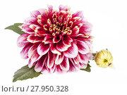 Купить «Single red flower of aster isolated on white background, close up.», фото № 27950328, снято 18 января 2019 г. (c) PantherMedia / Фотобанк Лори